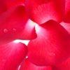 Rose Flower Mural Wallpaper