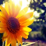 Sunflower Mural Wallpaper