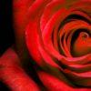 Red Rose Mural Wallpaper